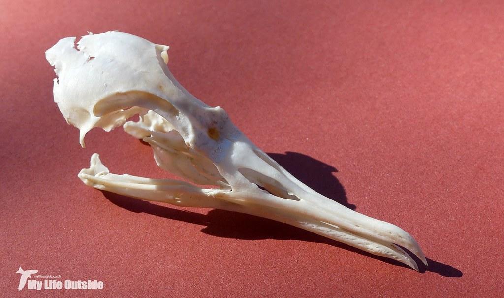 P1090491 - Manx Shearwater Skull