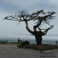 IMG_3153_Lonely Santa Cruz Tree