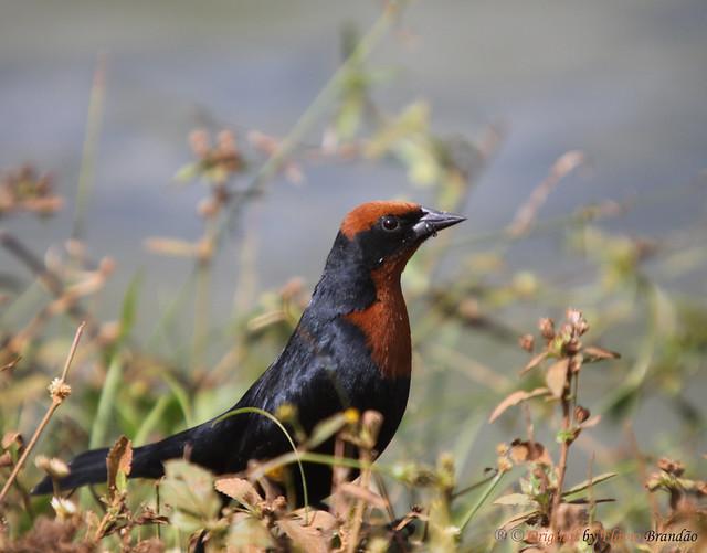 Série com o Garibaldi, Dó-ré-mi, Pássaro-do-arroz (Chrysomus ruficapillus) - Series with the Chestnut-capped Blackbird - 26-06-2010 - IMG_3603