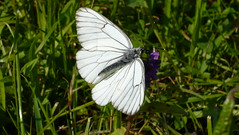 Black-veined White - Photo (c) Aah-Yeah, some rights reserved (CC BY)