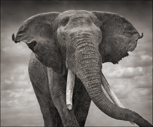Elephant with Tattered Ears, by Nick Brandt