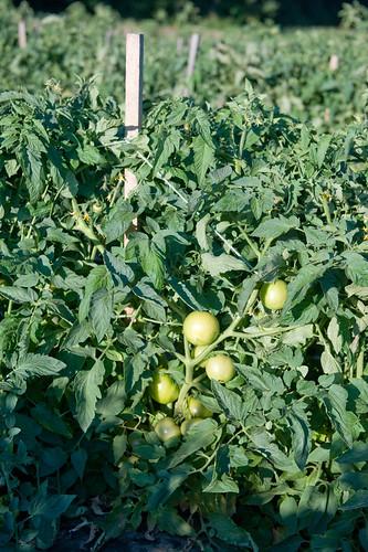 Teasing Tomatoes