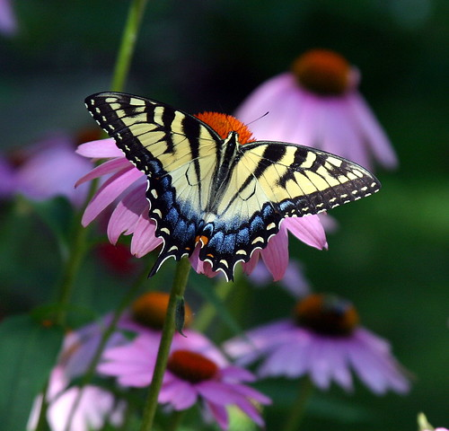 SwallowtailButterflyEchinachea