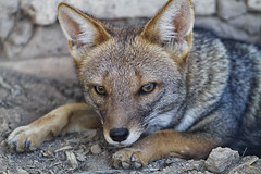 animal, czechoslovakian wolfdog, gray wolf, red wolf, jackal, grey fox, fauna, dhole, close-up, carnivoran, wildlife,