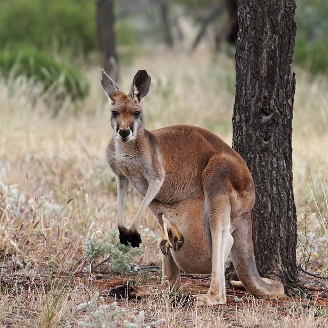 Red kangaroo and joey   Flickr - Photo Sharing!