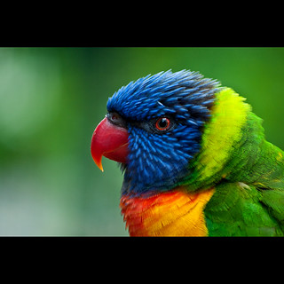 Lorikeet at the zoo