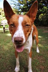 dog sports(0.0), animal sports(0.0), hound(0.0), miniature fox terrier(0.0), toy fox terrier(0.0), dog breed(1.0), animal(1.0), dog(1.0), pet(1.0), podenco canario(1.0), ibizan hound(1.0), carnivoran(1.0), basenji(1.0), terrier(1.0),