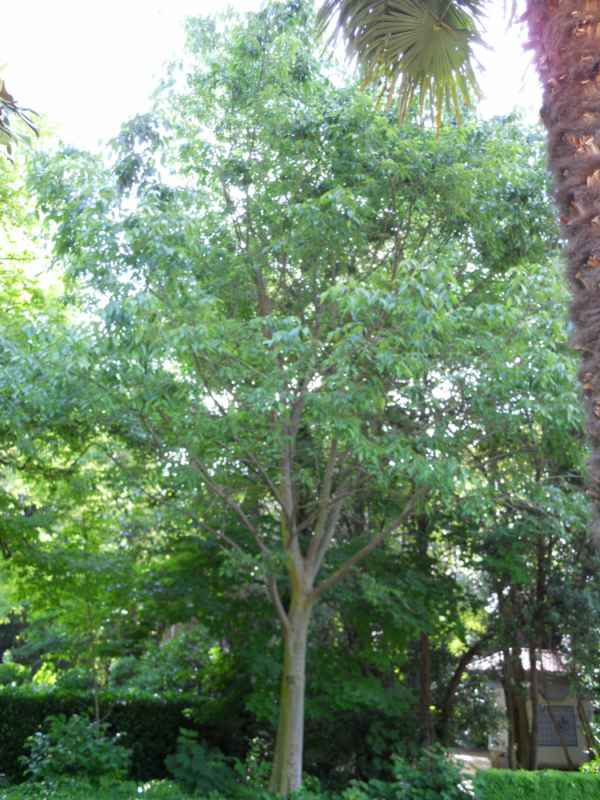 Celtis australis árbol v 4