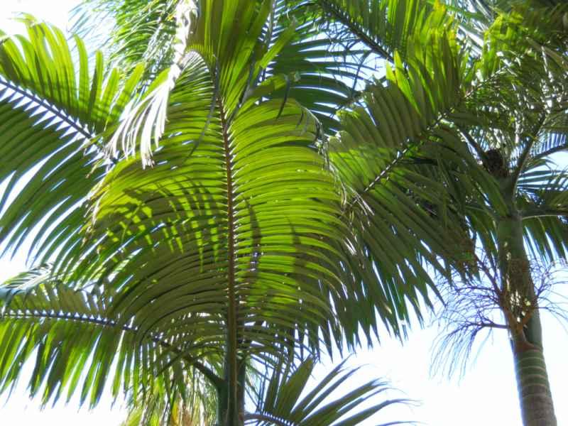 Jardineros en acci n cuidados de la palmera for Palmeras de exterior