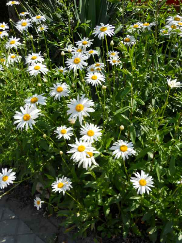 Chrysanthemum frutescens v 5