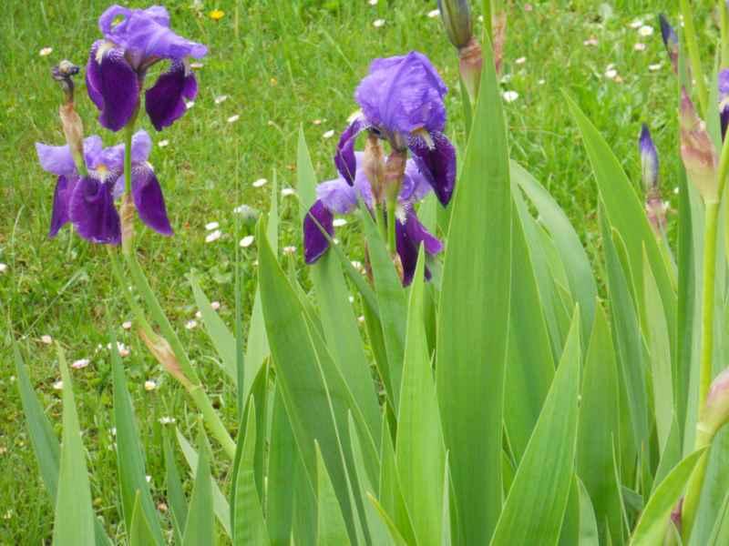 Jardineros en acci n iris reticulata for Planta decorativa toxica