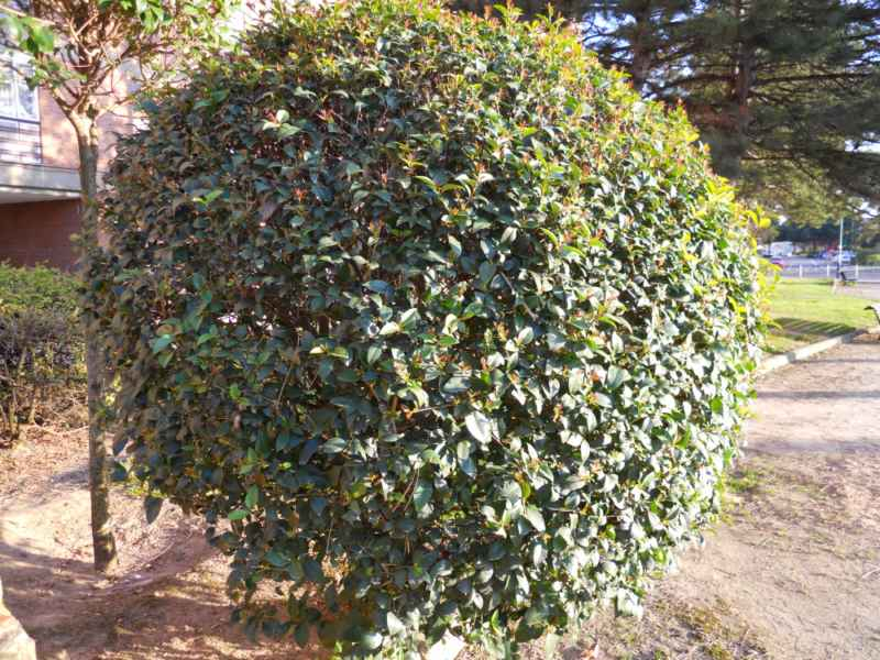 Ligustrum japonicum topiaria 5