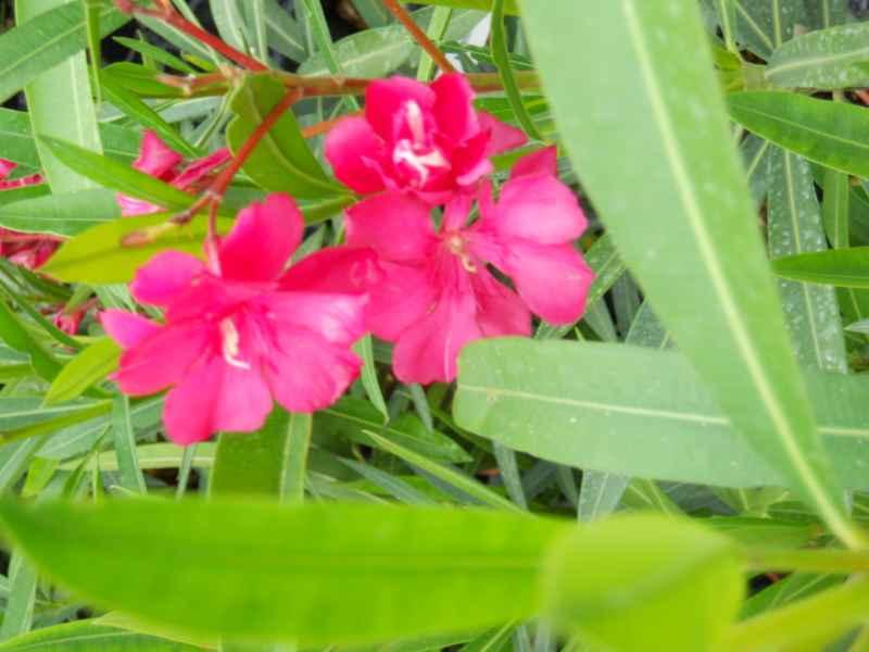 Nerium oleander 'Revanche' 2