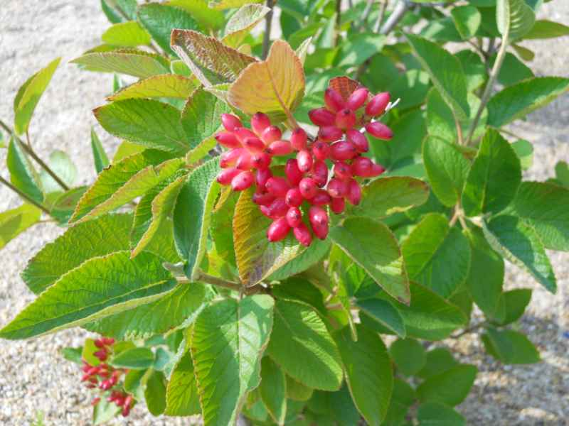 Viburnum lantana 2