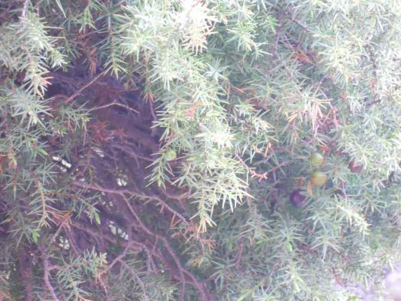 Juniperus communis detalle 2