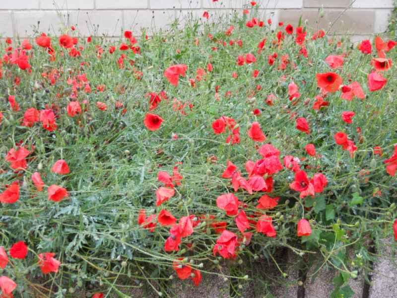 Jardineros en acci n papaver rhoeas for Planta decorativa toxica
