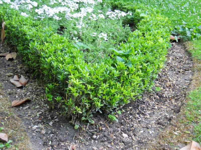 Buxus sempervirens seto 3