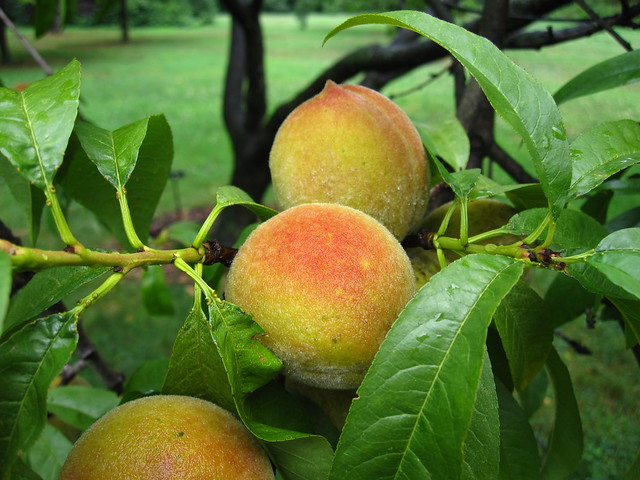 Rain washed peaches (Prunus persica 'Curlfree') ripen in the Plant Family Collection. Photo by Rebecca Bullene.