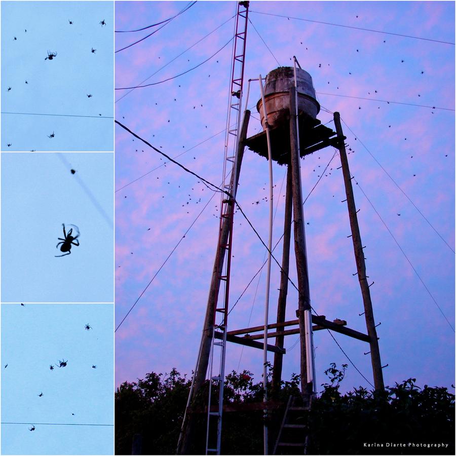Social spiders - Arañas sociales