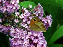 Buddleja butterfly bush
