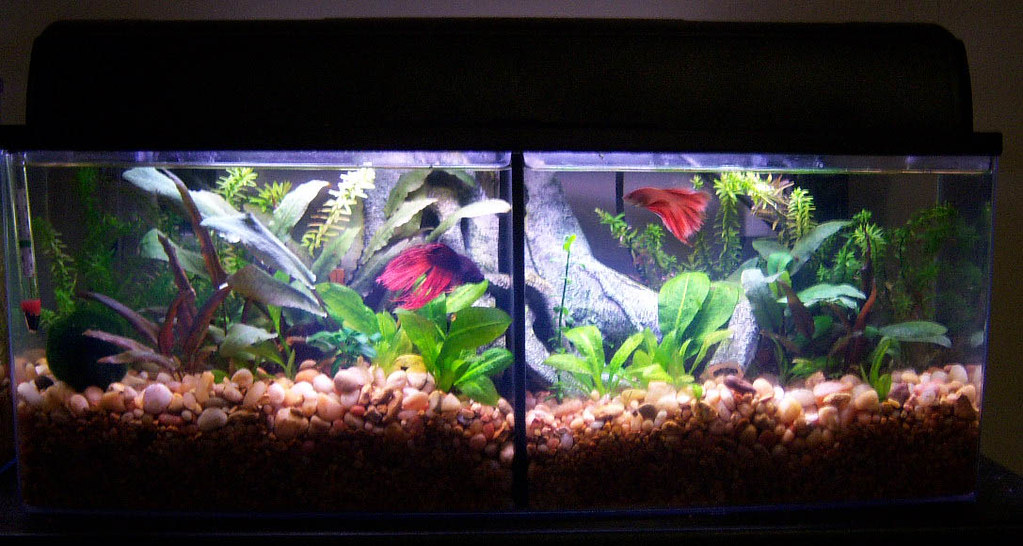 Bookshelf aquarium by petco with divider for two bettas for Betta fish tanks petco