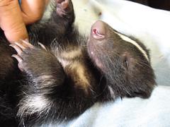 ear(0.0), mink(0.0), ferret(0.0), nose(1.0), animal(1.0), mustelinae(1.0), mustelidae(1.0), mammal(1.0), polecat(1.0), whiskers(1.0),