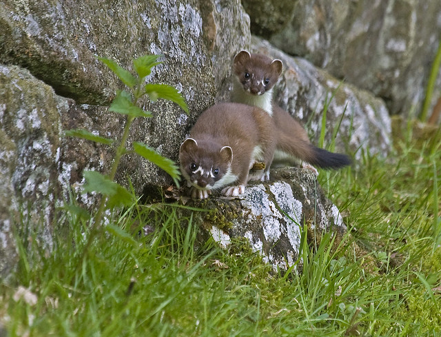 Young Stoats