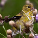 Goldfinch at Work by DennisDavenportPhotography