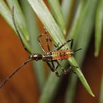 nyugati levéllábú poloska - Leptoglossus occidentalis