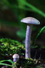 Cortinariaceae