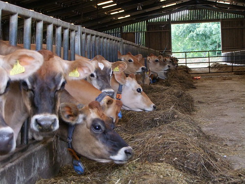 Jersey Cows in a Parlour