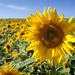 Hartlepool sunflowers. 2010 by WWW.KANEYOUNGPHOTOGRAPHY.COM