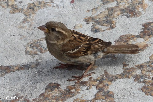House Sparrow, St.Ives, Cornwall by Claire Stocker (Stocker Images)