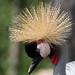 Rotterdam Blijdorp-grey crowned crane by ksvrbrg