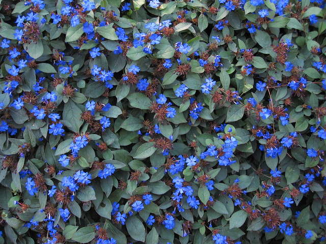 Autumn leadwort (Ceratostigma plumbaginoides) blooms along the rock wall in the Osborne Garden. Photo by Rebecca Bullene.