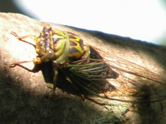 arthropod, animal, cicada, invertebrate, insect, macro photography, fauna, close-up,