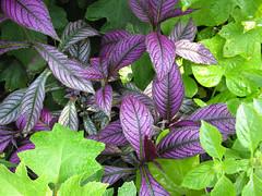 annual plant, leaf, purple, plant, lilac, herb, flora, perilla frutescens,
