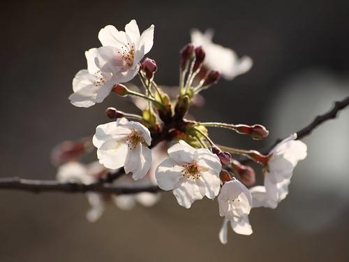 el arbol de ciruelo de mi papa tambien esta floreciendo By my Nokia #N8 #Macro