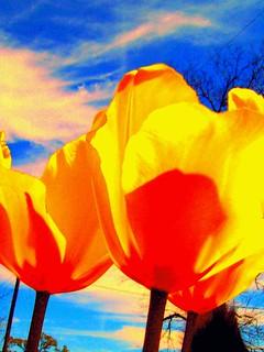 delta tulips /3.0