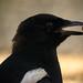 Urraca (Pica pica) / Common magpie