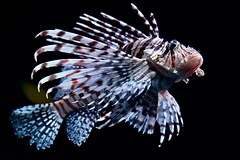 Lionfish / Pterois
