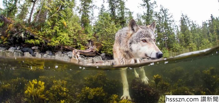 swimming-sea-wolves-pacific-coast-canada-ian-mcallister-4_700_332