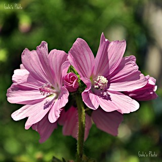Common Mallow - Malva Sylvestris.