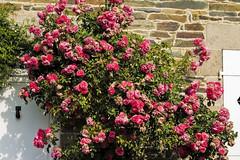floribunda(0.0), floristry(0.0), rosa wichuraiana(1.0), annual plant(1.0), shrub(1.0), garden roses(1.0), flower(1.0), plant(1.0),
