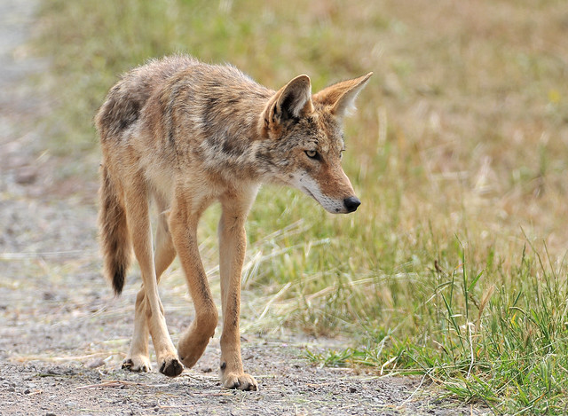 coyote lope | Flickr - Photo Sharing! Coyote