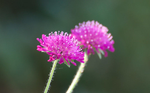 Image of Knautia macedonica - Summer Plants in Broward County