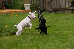 bull terrier (miniature)(0.0), dog breed(1.0), animal(1.0), dog(1.0), pet(1.0), bull terrier(1.0), guard dog(1.0), carnivoran(1.0), bulldog(1.0), terrier(1.0),