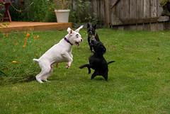 dog breed, animal, dog, pet, bull terrier, guard dog, carnivoran, bulldog, terrier,