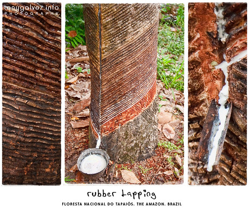 rubber and sustainable development in the Amazon