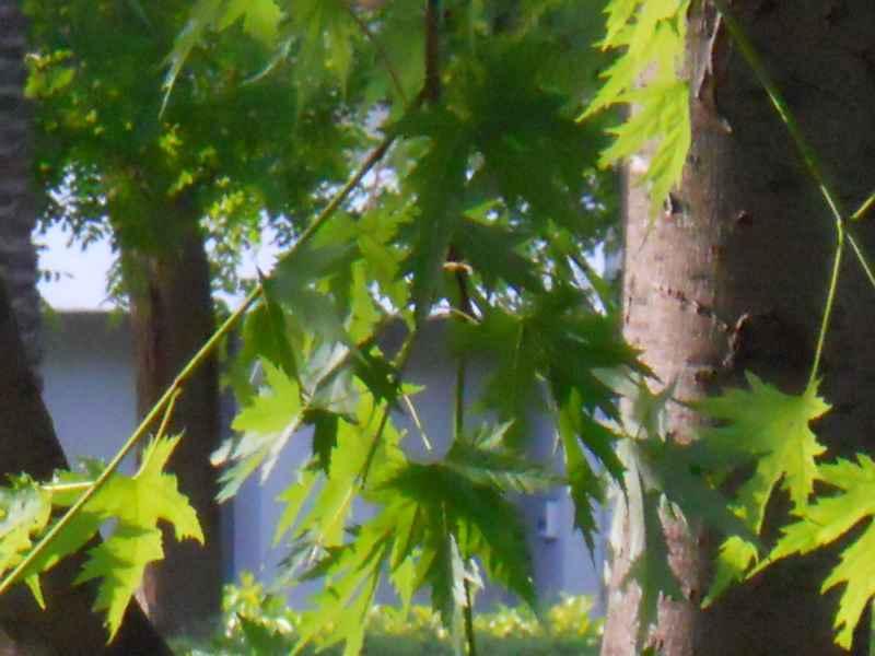 Acer saccharinum hoja 3